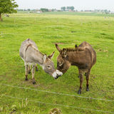 Kissing donkeys Royalty Free Stock Photography