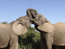 Kissing Elephants. Teenage Elephants playing in the ADDO Elephant National Park Stock Photography
