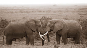 Kissing Elephants Royalty Free Stock Images
