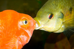 Kissing fishes. Two different kind of fish kissing Stock Photography