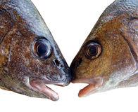 Kissing fishes Stock Images