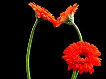 Kissing Gerbera Family Stock Image