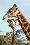Kissing Giraffes. Two giraffes from Africa showing some affection royalty free stock image