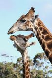 Kissing Giraffes. Two giraffes from Africa showing some affection stock photos