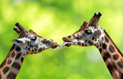 Kissing giraffes Stock Image