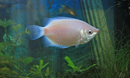Kissing Gourami or Helostoma temminekii Royalty Free Stock Image