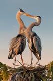 Kissing Herons Royalty Free Stock Images