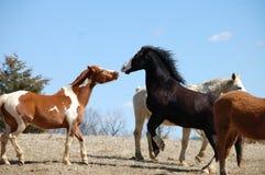 Kissing horses. Kissing chestnut skewbald and black baldfaced horses Stock Image