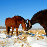 Kissing horses on snow field Royalty Free Stock Images