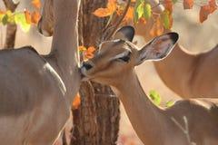 Kissing Impala Royalty Free Stock Images