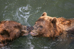 Kissing kodiaks Royalty Free Stock Image