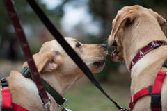 Kissing Labs Royalty Free Stock Images