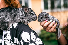 Kissing of Mama and Baby Chinchilla in Front View. Sitting on the shoulder stock image