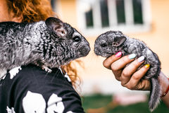 Kissing of Mama and Baby Chinchilla in Front View. Sitting on the shoulder royalty free stock photography
