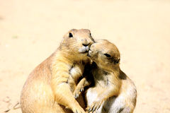 Kissing marmots Royalty Free Stock Photo