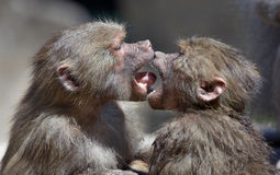 Kissing monkeys royalty free stock image