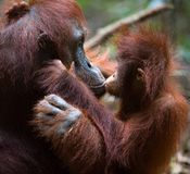 Kissing mum. The kid the orangutan gently kisses the mother Stock Image