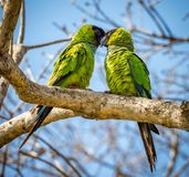 Kissing nanday parakeets during mating season in Pantanal Stock Photo