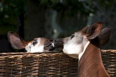 Kissing okapi. Two okapi in a zoo Royalty Free Stock Images