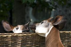 Kissing okapi Stock Image