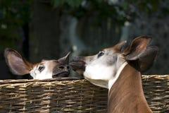 Kissing okapi. Two cute okapi touching noses Stock Image