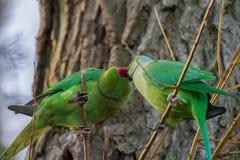 Kissing Parakeets Royalty Free Stock Photos