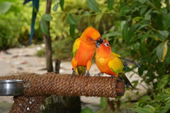 Kissing parrot stock images