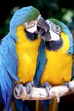 Kissing parrots. Closeup of two colorful parrots kissing on perch Royalty Free Stock Photo