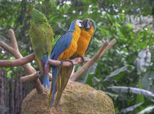Kissing Parrots. A couple of macaws kissing while perched on a tree branch Stock Photo