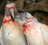 Kissing Parrots Royalty Free Stock Photography
