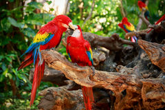 Kissing parrots. Portrait of kissing Scarlet Macaw parrots in Mexico stock photography