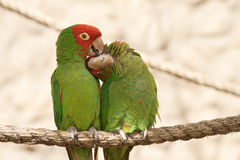 Kissing parrots on a rope Stock Photography