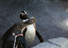 Kissing Penguins Royalty Free Stock Photos