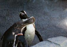 Kissing Penguins Royalty Free Stock Photos