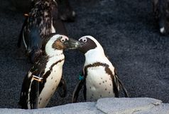 Kissing Penguins Royalty Free Stock Photo