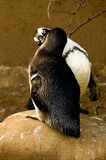 Kissing Penguins. Sitting on a big rock.Captured at the zoo Stock Images