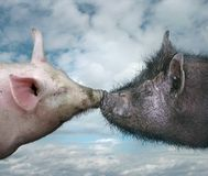 Two Pigs Kissing royalty free stock images