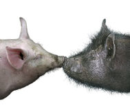 Kissing Pigs Stock Photography