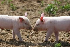 Kissing pigs. Two pigs kissing Stock Images