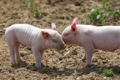 Kissing pigs. Two pigs kissing Royalty Free Stock Image