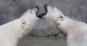 Kissing polar bears Royalty Free Stock Images