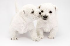Kissing puppies Royalty Free Stock Photos