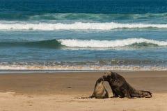 Kissing sea lions Royalty Free Stock Photo