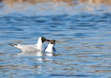 Kissing seagulls in the water stock images