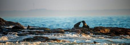 Kissing seals. Cape fur seals lay on rocks. Scientific name: Arctocephalus pusillus pusillus. Waves crash along the stone coast. South Africa. Seal Island in stock photos