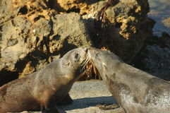 Kissing Seals, new zealand. Two seals sniffing each other Royalty Free Stock Image
