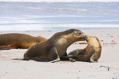 Kissing Seals Royalty Free Stock Photography
