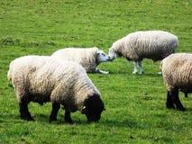 Kissing sheep Stock Images