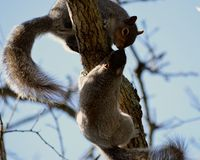 Kissing Squirrels. Two squirrels being cozy in a tree royalty free stock image