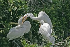Kissing time. Great white egrets in florida Stock Photography